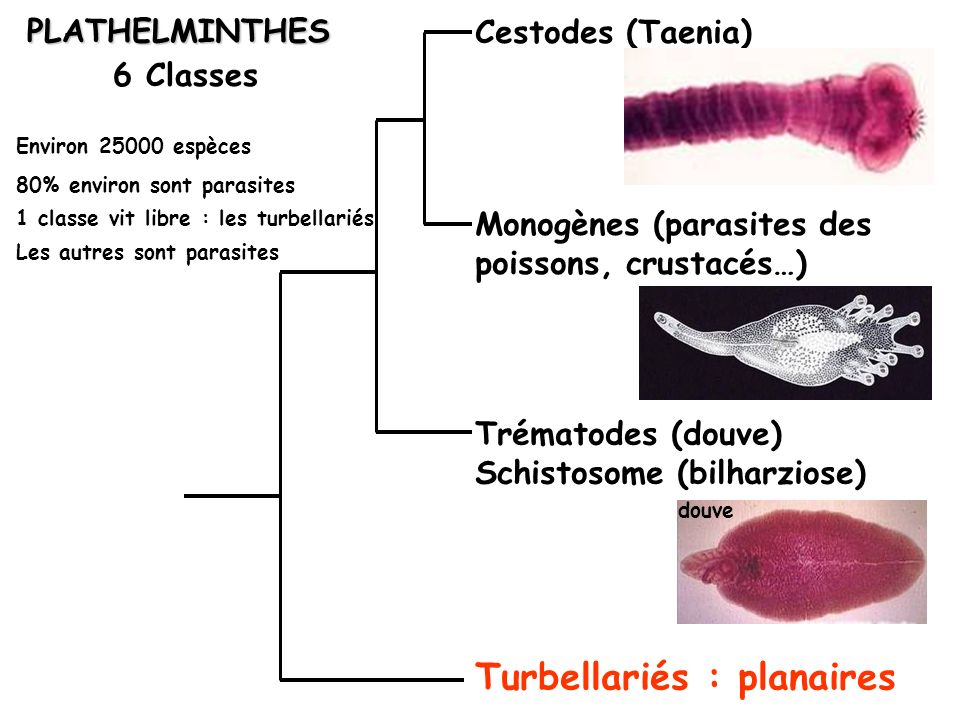 Planoceros sp.