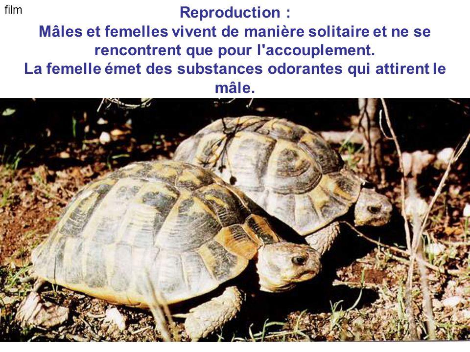 Reproduction : Mâles et femelles vivent de manière solitaire et ne se rencontrent que pour l'accouplement. La femelle émet des substances odorantes qu