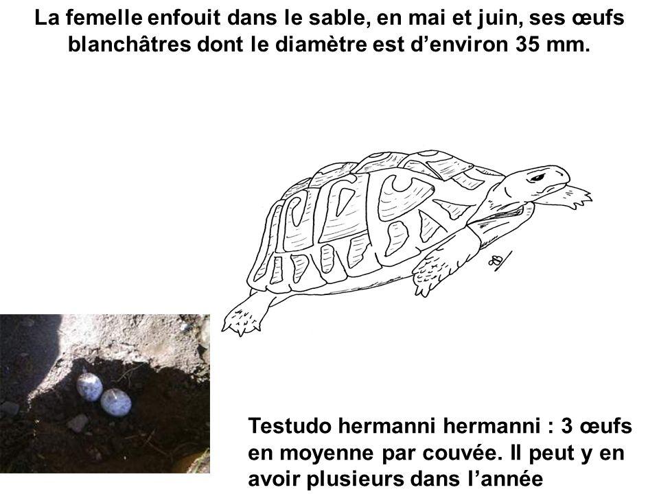 La femelle enfouit dans le sable, en mai et juin, ses œufs blanchâtres dont le diamètre est denviron 35 mm. Testudo hermanni hermanni : 3 œufs en moye