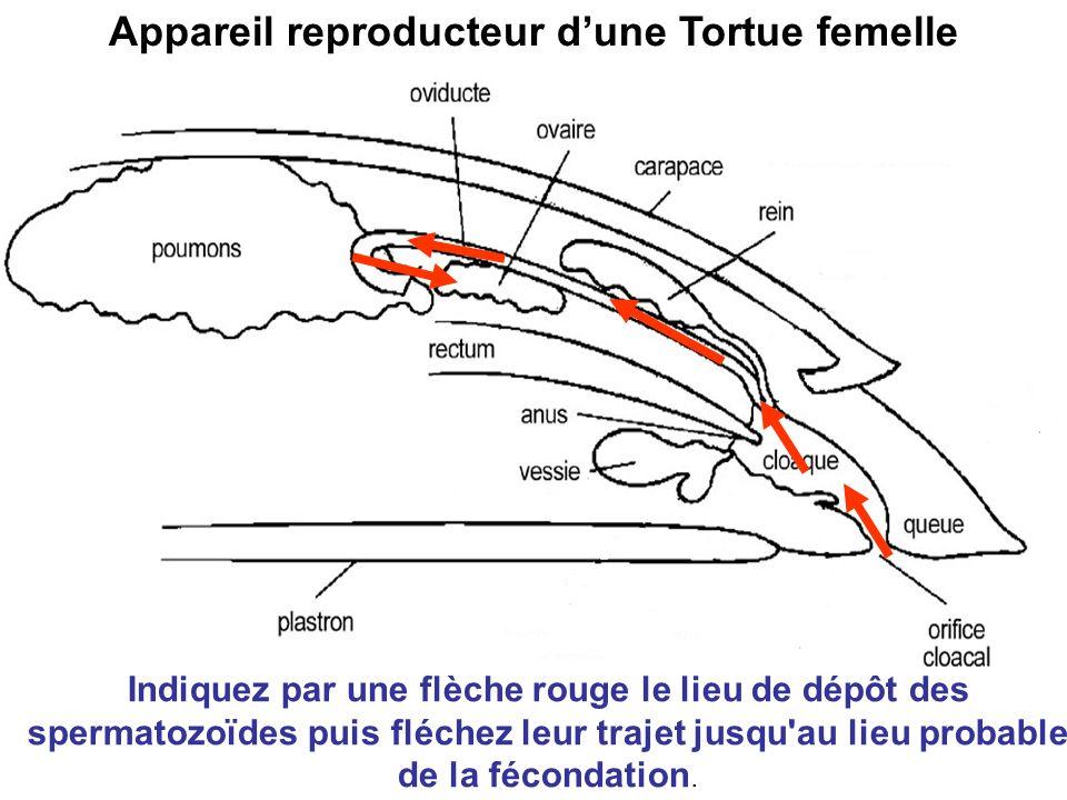 Appareil reproducteur dune Tortue femelle Indiquez par une flèche rouge le lieu de dépôt des spermatozoïdes puis fléchez leur trajet jusqu'au lieu pro