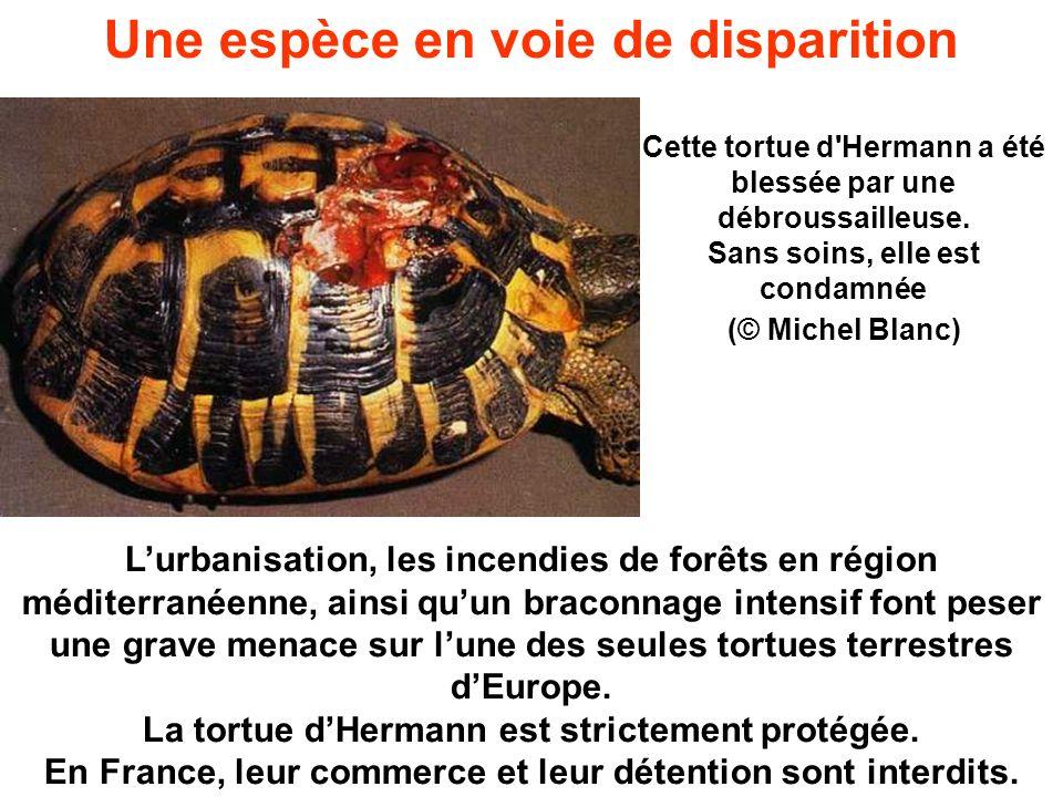 Cette tortue d'Hermann a été blessée par une débroussailleuse. Sans soins, elle est condamnée (© Michel Blanc) Lurbanisation, les incendies de forêts