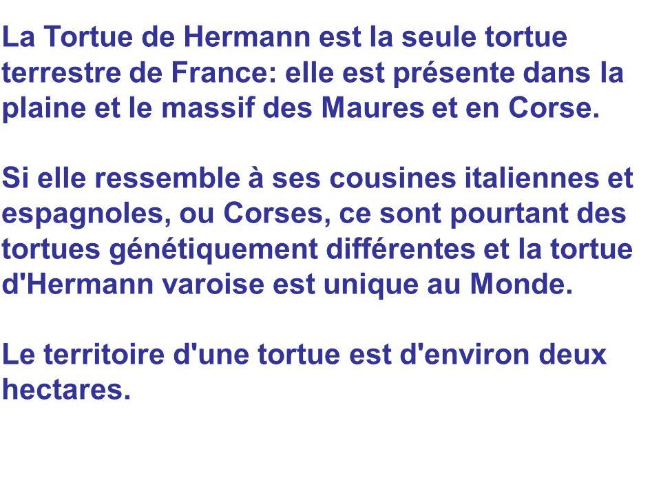 La Tortue de Hermann est la seule tortue terrestre de France: elle est présente dans la plaine et le massif des Maures et en Corse. Si elle ressemble