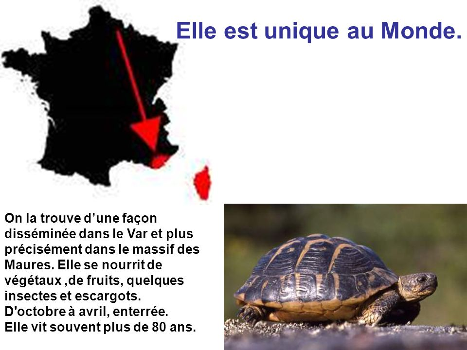 Œuf de Tortue Réserves nutritives embryon coquille