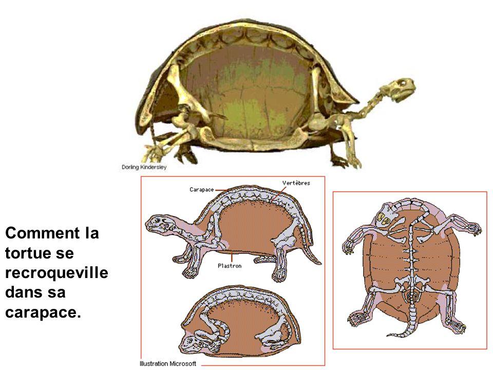 Comment la tortue se recroqueville dans sa carapace.