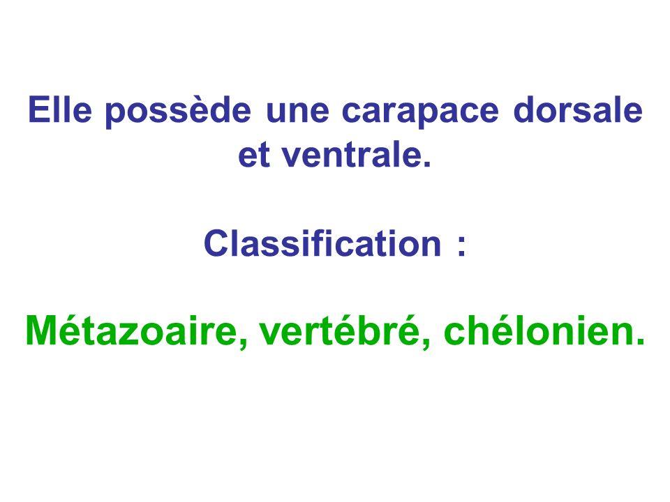 Elle possède une carapace dorsale et ventrale. Classification : Métazoaire, vertébré, chélonien.