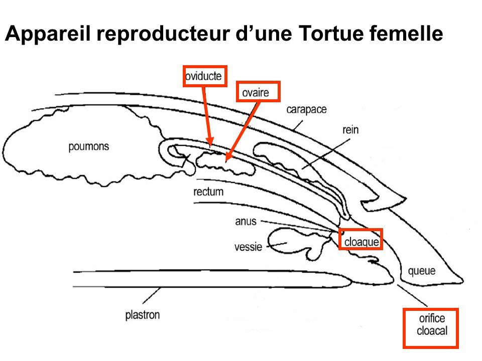 Appareil reproducteur dune Tortue femelle