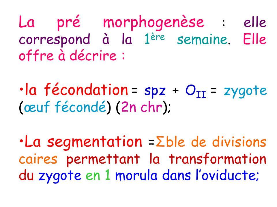 La pré morphogenèse : elle correspond à la 1 ère semaine. Elle offre à décrire : la fécondation = spz + O II = zygote (œuf fécondé) (2n chr); La segme