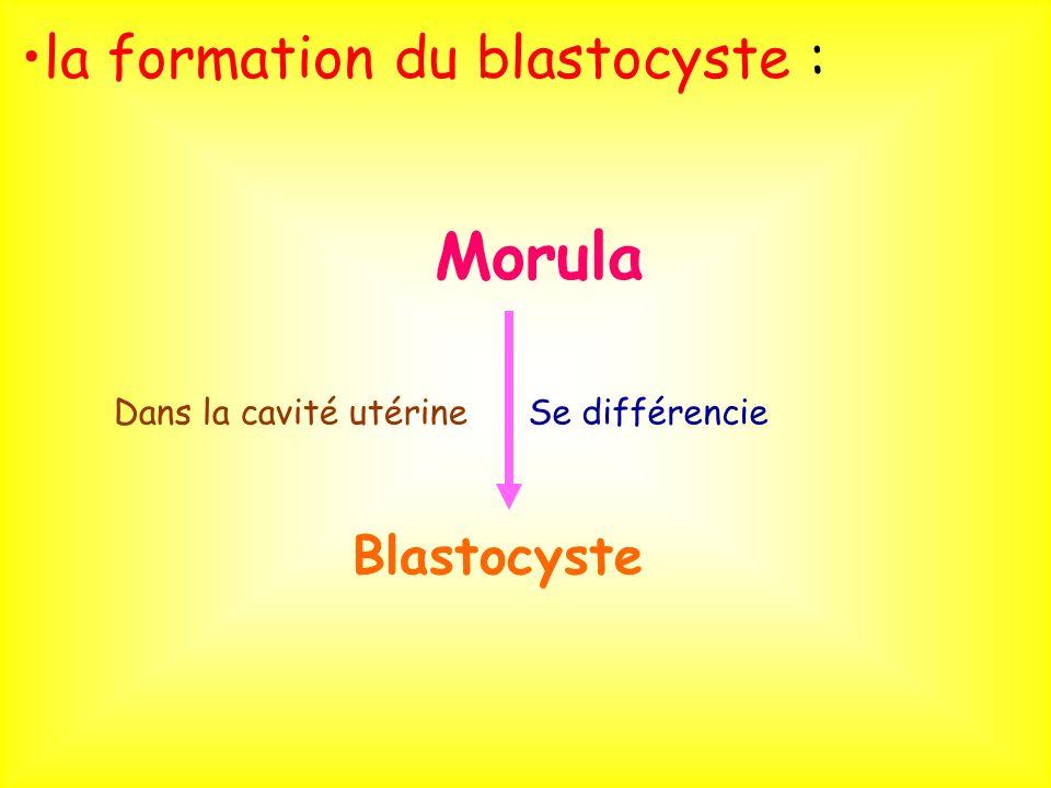 la formation du blastocyste : Blastocyste Se différencieDans la cavité utérine Morula