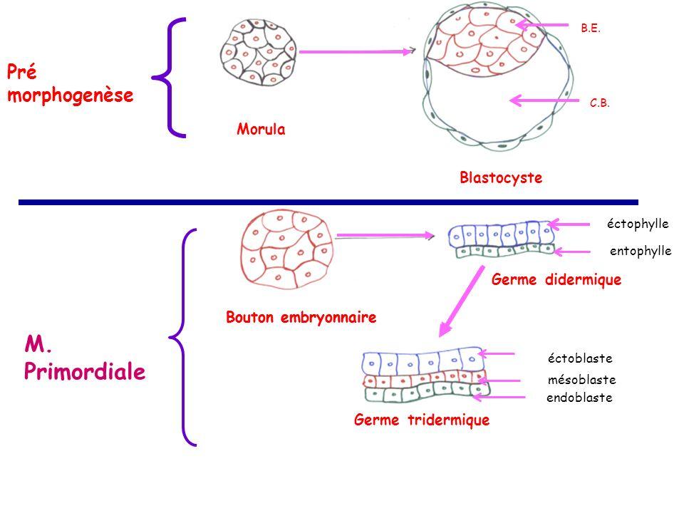 Morula Blastocyste Bouton embryonnaire Germe didermique Germe tridermique B.E.