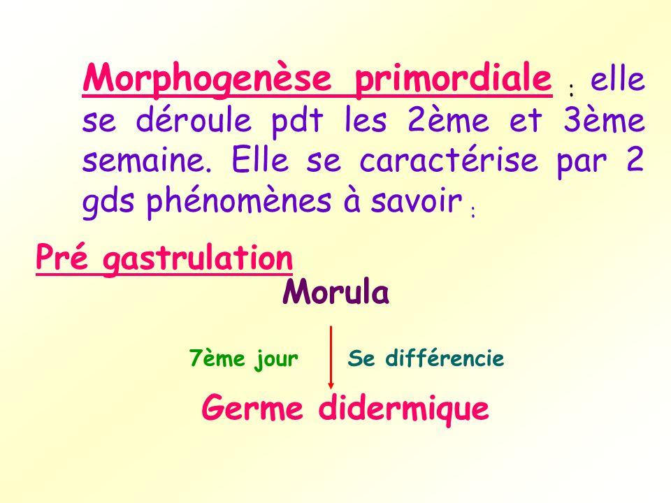Germe didermique Se différencie7ème jour Morphogenèse primordiale : elle se déroule pdt les 2ème et 3ème semaine. Elle se caractérise par 2 gds phénom