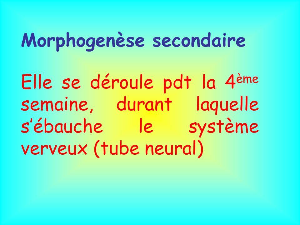 Morphogenèse secondaire Elle se déroule pdt la 4 ème semaine, durant laquelle sébauche le système verveux (tube neural)