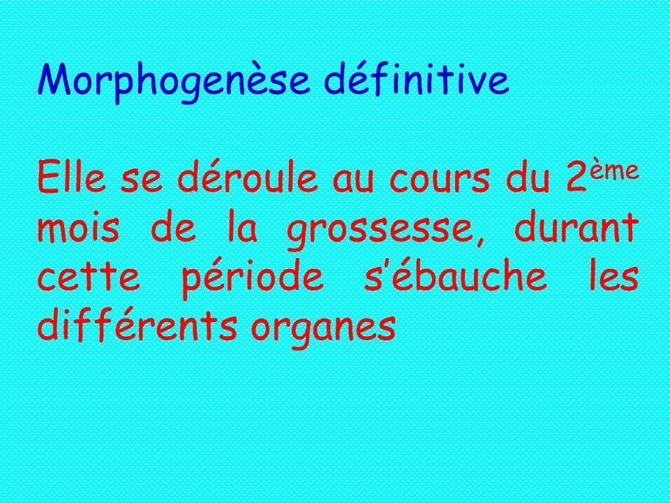 Morphogenèse définitive Elle se déroule au cours du 2 ème mois de la grossesse, durant cette période sébauche les différents organes