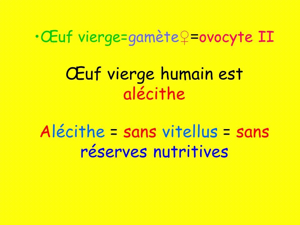 Œuf vierge=gamète= ovocyte II Œuf vierge humain est alécithe Alécithe = sans vitellus = sans réserves nutritives