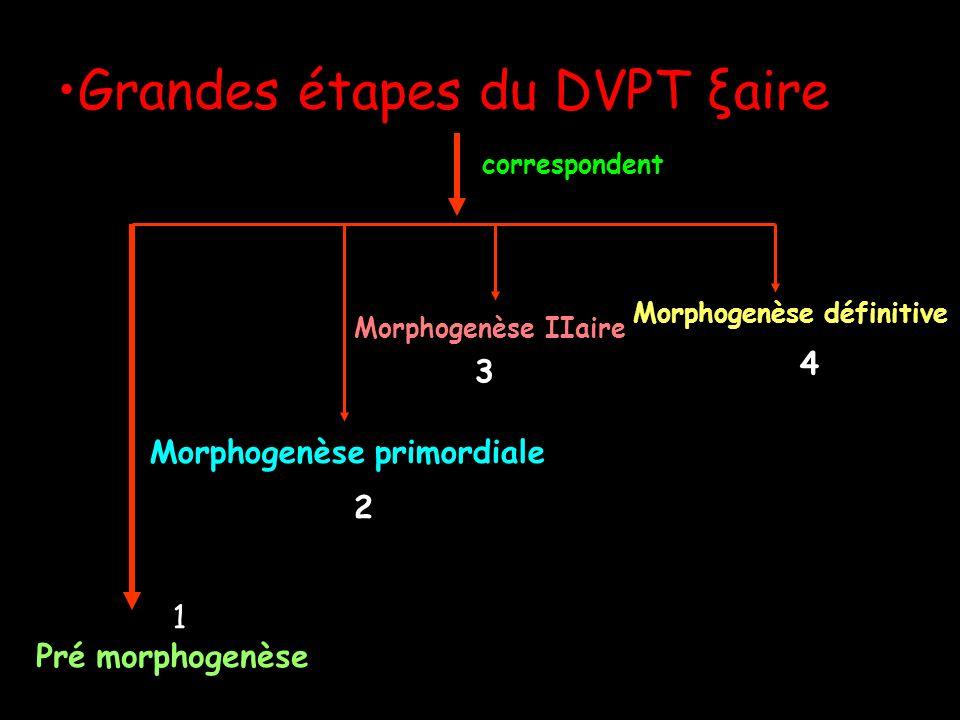 Grandes étapes du DVPT ξaire Pré morphogenèse Morphogenèse primordiale Morphogenèse IIaire Morphogenèse définitive correspondent 111111 1 2 3 4
