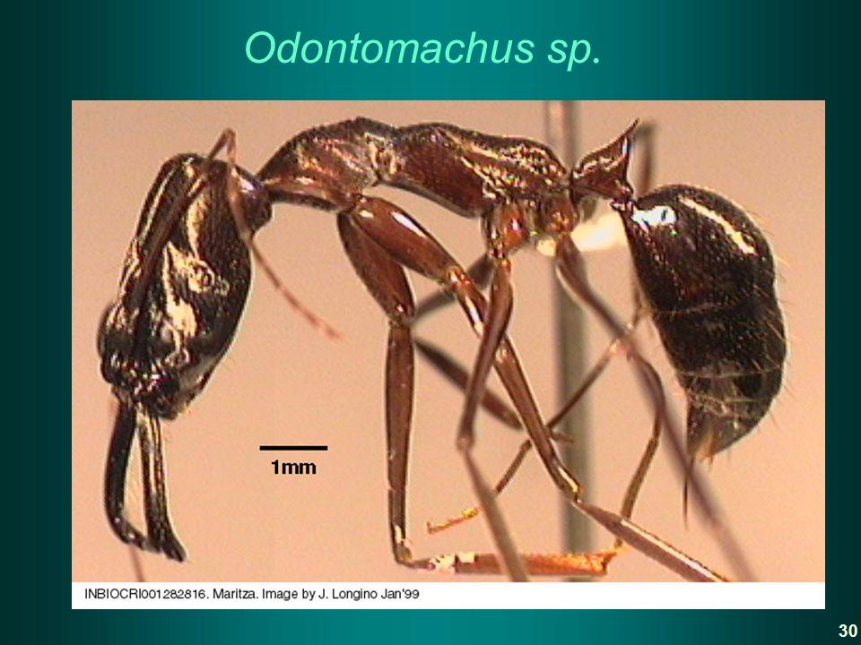 Odontomachus sp. 30