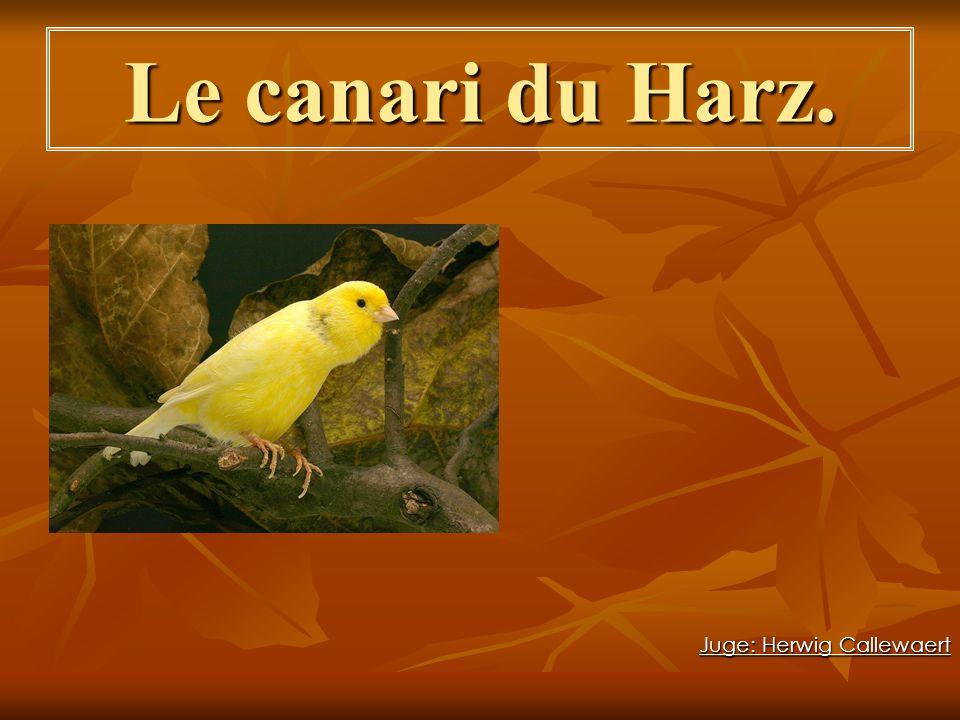 Le canari du Harz. Juge: Herwig Callewaert