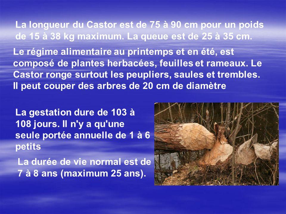 La longueur du Castor est de 75 à 90 cm pour un poids de 15 à 38 kg maximum.
