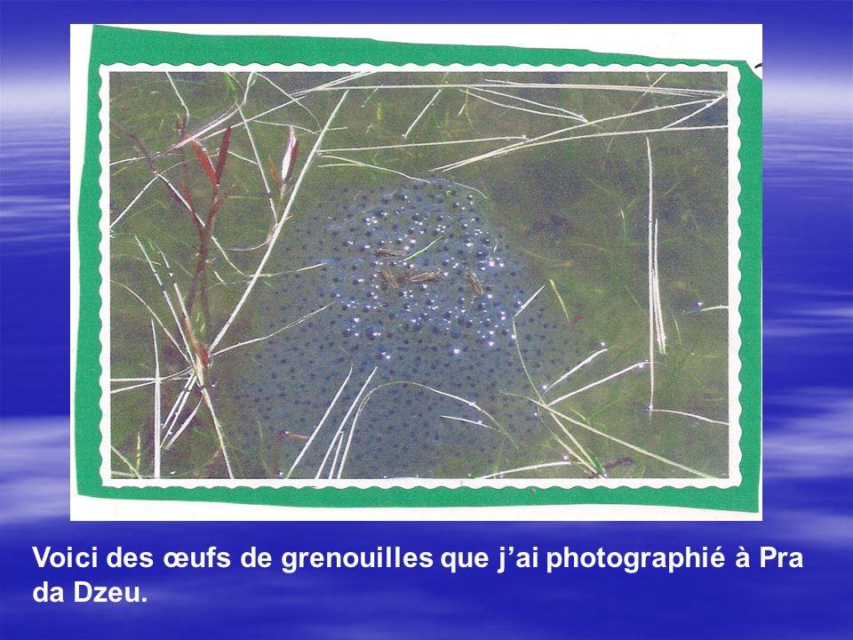 Voici des œufs de grenouilles que jai photographié à Pra da Dzeu.
