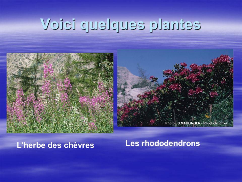 Voici quelques plantes Lherbe des chèvres Les rhododendrons