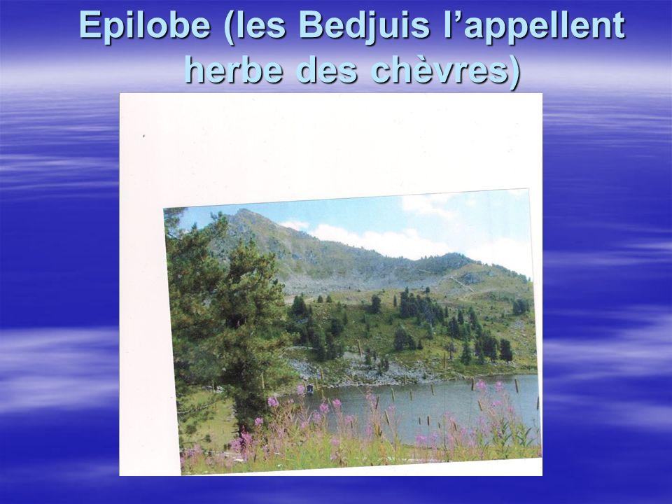 Epilobe (les Bedjuis lappellent herbe des chèvres)