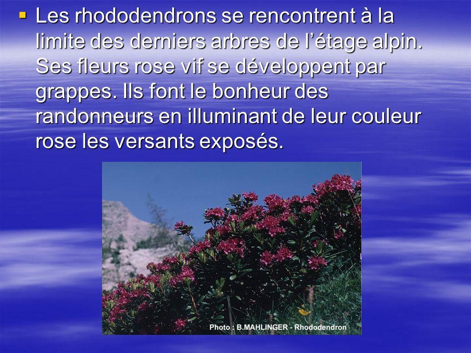 Les rhododendrons se rencontrent à la limite des derniers arbres de létage alpin.