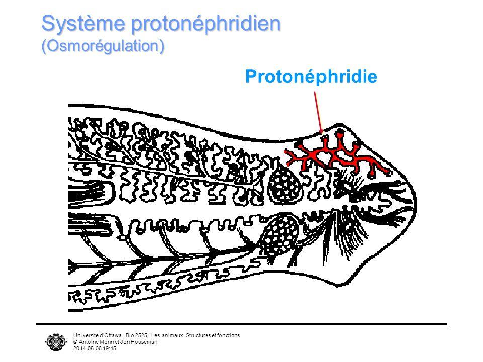 Université dOttawa - Bio 2525 - Les animaux: Structures et fonctions © Antoine Morin et Jon Houseman 2014-05-06 19:47 Système protonéphridien (Osmorég