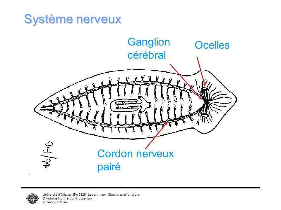 Université dOttawa - Bio 2525 - Les animaux: Structures et fonctions © Antoine Morin et Jon Houseman 2014-05-06 19:47 Système nerveux Ocelles Ganglion