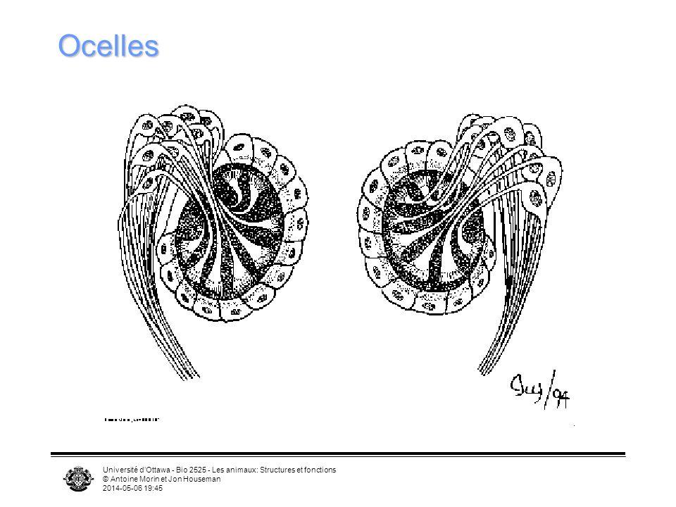 Université dOttawa - Bio 2525 - Les animaux: Structures et fonctions © Antoine Morin et Jon Houseman 2014-05-06 19:47 Ocelles