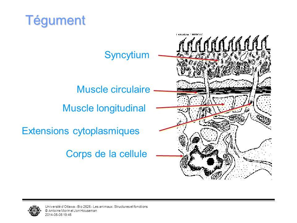 Université dOttawa - Bio 2525 - Les animaux: Structures et fonctions © Antoine Morin et Jon Houseman 2014-05-06 19:47 Tégument Syncytium Muscle circul