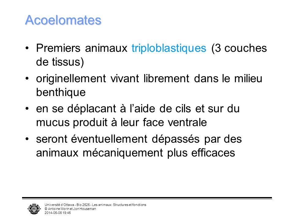 Université dOttawa - Bio 2525 - Les animaux: Structures et fonctions © Antoine Morin et Jon Houseman 2014-05-06 19:47 Acoelomates Premiers animaux tri