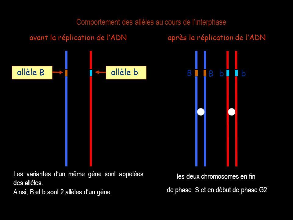avant la réplication de lADN Les variantes dun même gène sont appelées des allèles. allèle B allèle b Ainsi, B et b sont 2 allèles dun gène. B après l