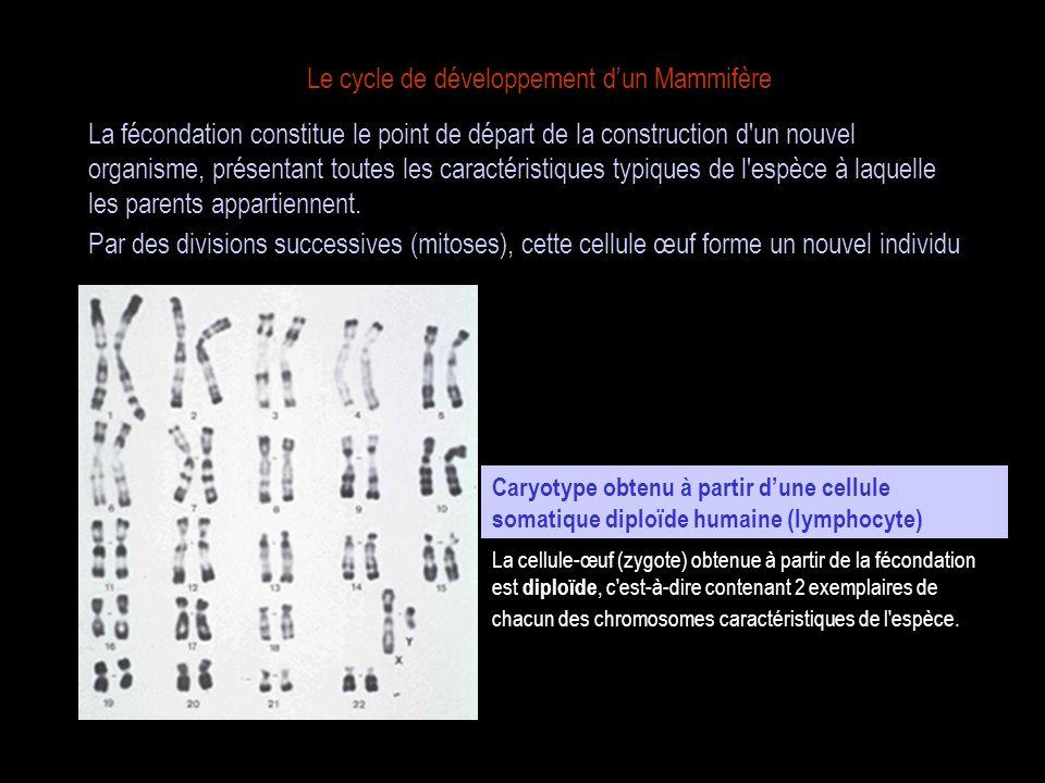 Le cycle de développement dun Mammifère La fécondation implique la rencontre entre des cellules spécialisées, les gamètes, émises par les gonades du mâle (spermatozoïdes) et de la femelle adultes (ovules).