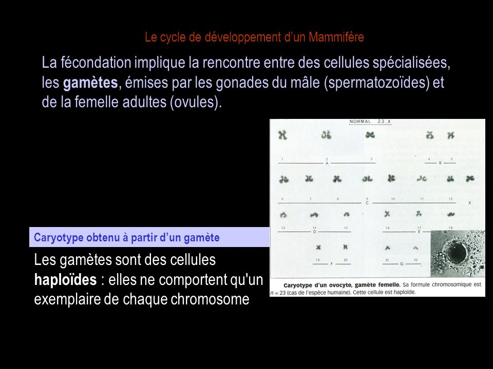 fécondation méïose 1 2 cellules diploïdes (2n) gamètes haploïdes (n) oeuf ou zygote (2n) ovule Évolution du nombre de chromosomes au cours de la reproduction sexuée + La reproduction sexuée est donc marquée par deux événements compensateurs : la méiose et la fécondation.