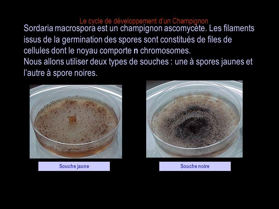 Le cycle de développement dun Champignon Comme tous les champignons filamenteux, Sordaria est constitué de filaments qui sont des alignements de cellules.