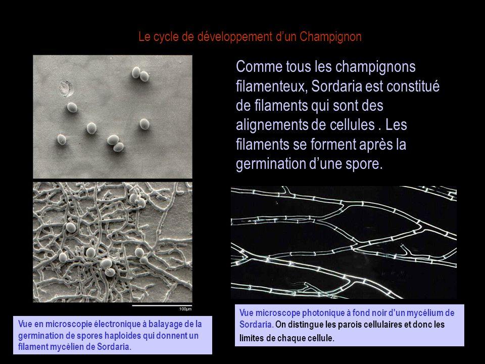 Le cycle de développement dun Champignon Comme tous les champignons filamenteux, Sordaria est constitué de filaments qui sont des alignements de cellu