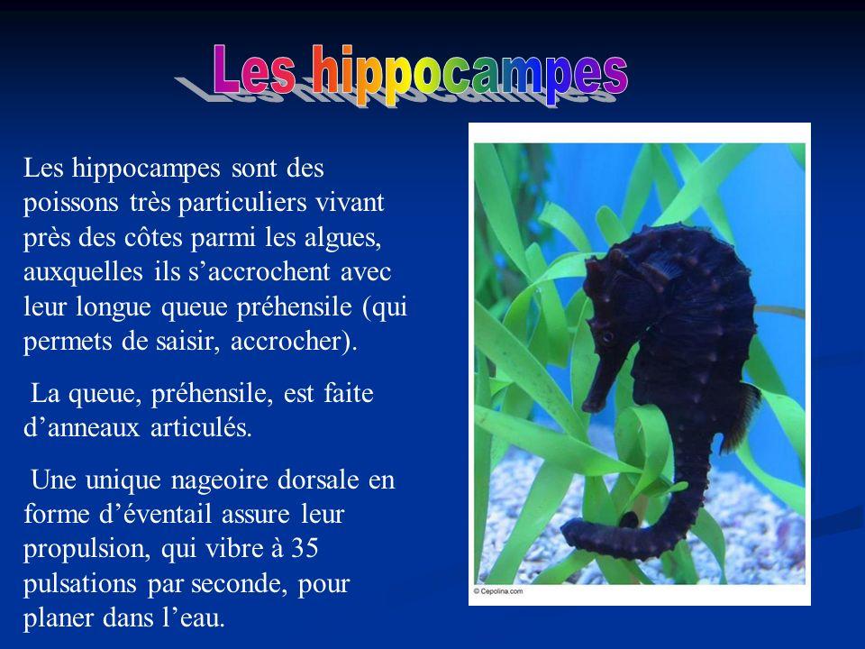 Les hippocampes sont des poissons très particuliers vivant près des côtes parmi les algues, auxquelles ils saccrochent avec leur longue queue préhensi