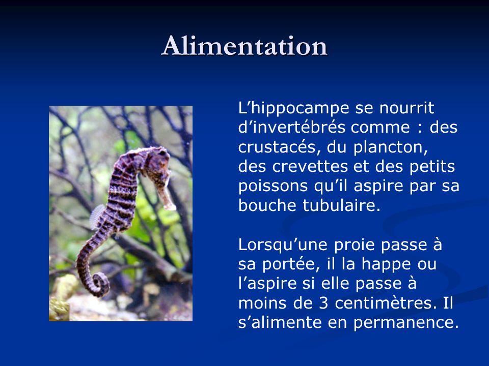 La Reproduction Quand vient la période de reproduction, toute lannée dans les mers tropicales, printemps et été dans les eaux tempérées, les hippocampes se rassemblent par couples.