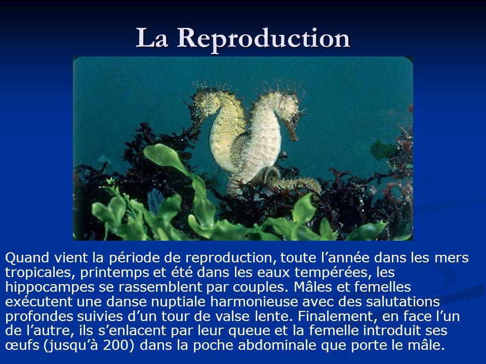 Le mâle fertilise ensuite les ovules alors quils sont nichés dans le tissu spongieux de la paroi de la poche.