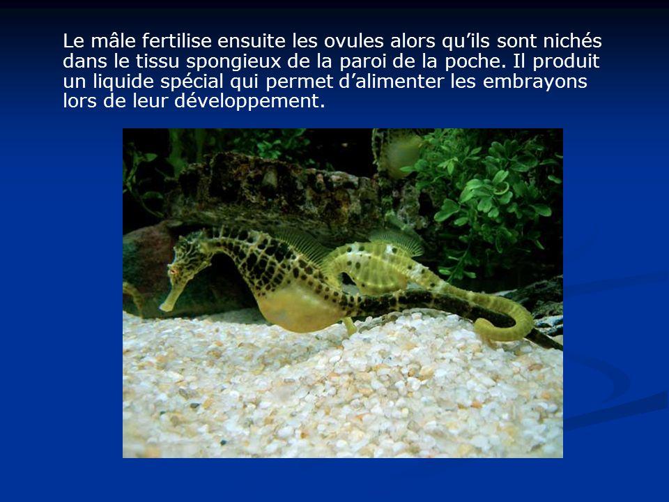 Le mâle fertilise ensuite les ovules alors quils sont nichés dans le tissu spongieux de la paroi de la poche. Il produit un liquide spécial qui permet