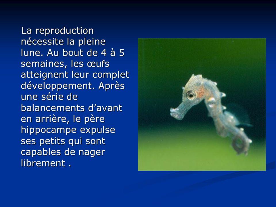 Camouflage L hippocampe dragon (en latin Phycodurus eques) imite les algues parmi lesquelles il vit, ondulant avec le courant.