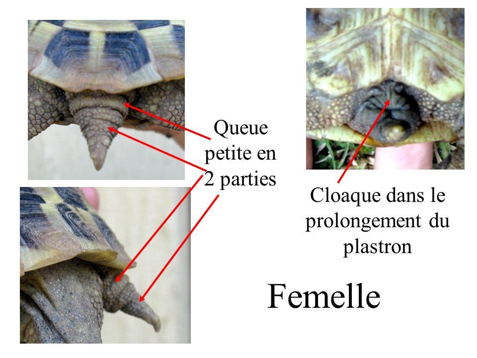 Femelle Queue petite en 2 parties Cloaque dans le prolongement du plastron