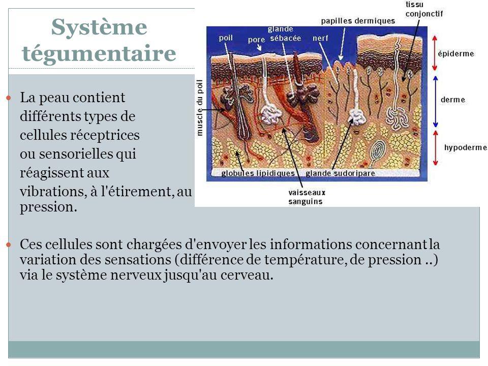 Système tégumentaire La peau contient différents types de cellules réceptrices ou sensorielles qui réagissent aux vibrations, à l'étirement, au chaud