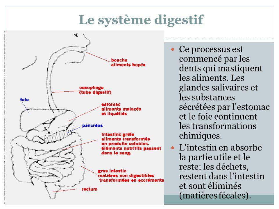 Le système digestif Ce processus est commencé par les dents qui mastiquent les aliments. Les glandes salivaires et les substances sécrétées par l'esto