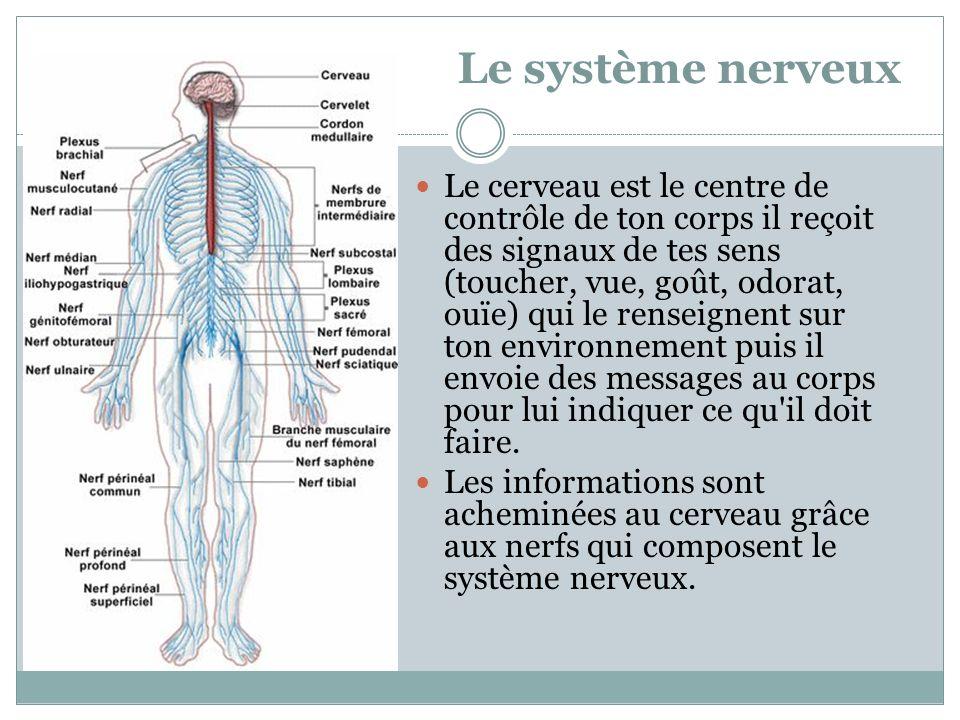 Le système nerveux Le cerveau est le centre de contrôle de ton corps il reçoit des signaux de tes sens (toucher, vue, goût, odorat, ouïe) qui le rense