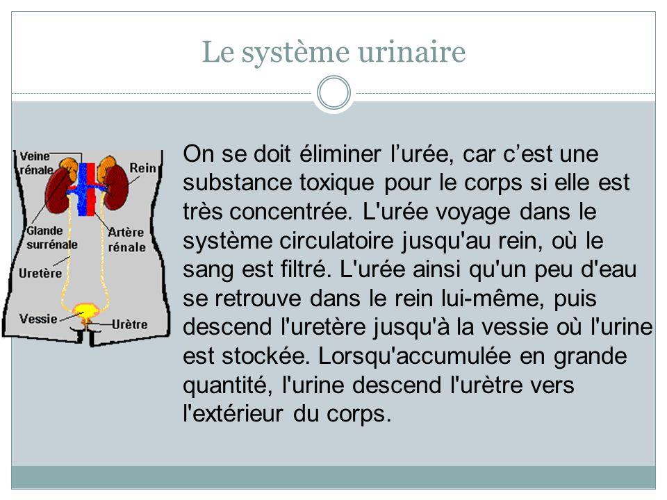 Le système urinaire On se doit éliminer lurée, car cest une substance toxique pour le corps si elle est très concentrée. L'urée voyage dans le système