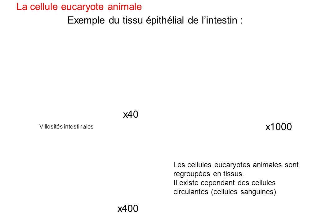 Exemple du tissu épithélial de lintestin : La cellule eucaryote animale Les cellules eucaryotes animales sont regroupées en tissus. Il existe cependan