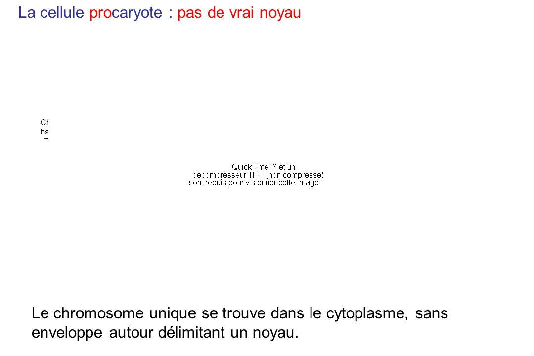 La cellule procaryote : pas de vrai noyau Chromosome bactérien Le chromosome unique se trouve dans le cytoplasme, sans enveloppe autour délimitant un