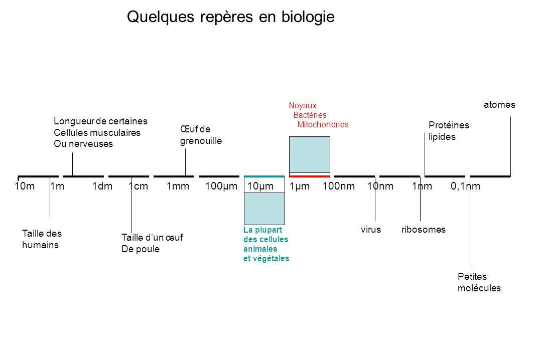 Quelques repères en biologie 10m 1m 1dm 1cm 1mm 100µm 10µm 1µm 100nm 10nm 1nm 0,1nm Taille des humains Longueur de certaines Cellules musculaires Ou n