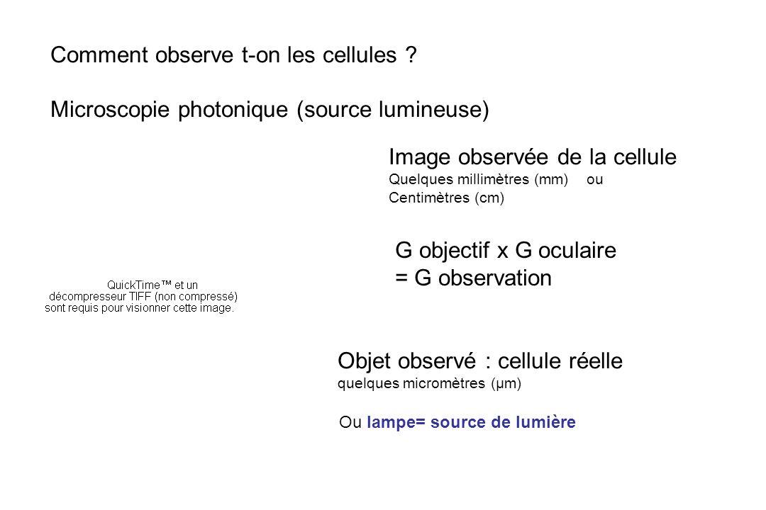 Comment observe t-on les cellules ? Microscopie photonique (source lumineuse) Image observée de la cellule Quelques millimètres (mm) ou Centimètres (c