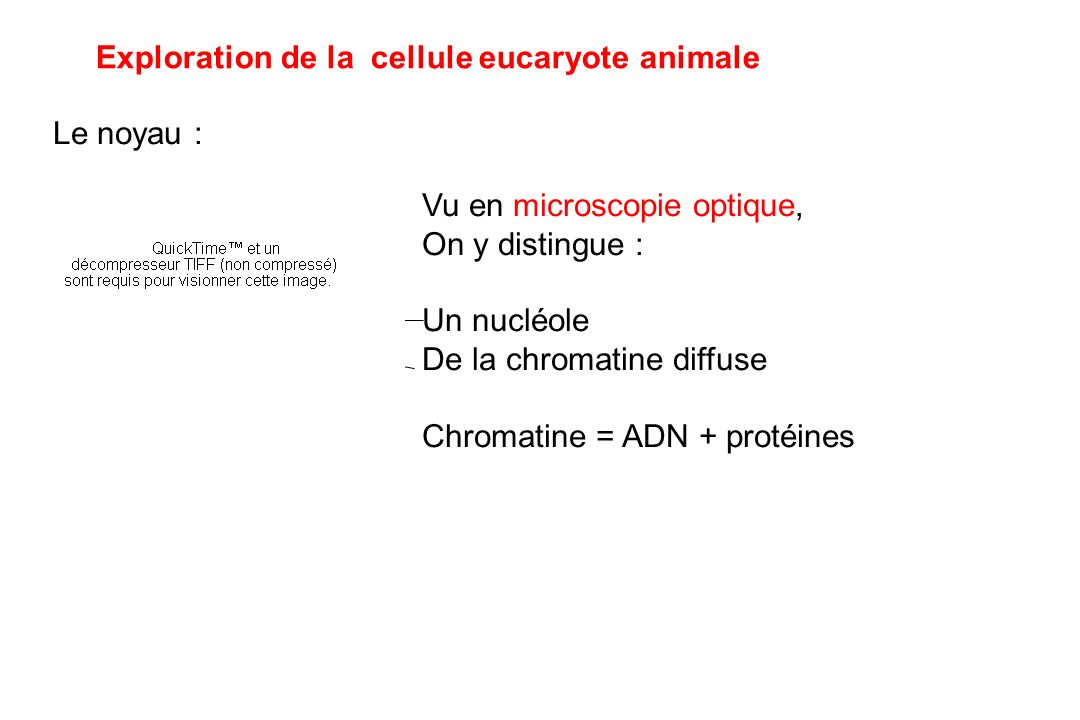 Exploration de la cellule eucaryote animale Le noyau : Vu en microscopie optique, On y distingue : Un nucléole De la chromatine diffuse Chromatine = ADN + protéines